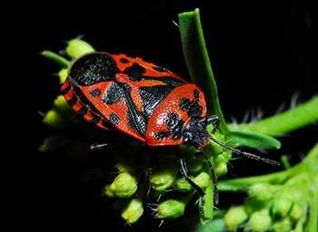 Клоп периллюс уничтожает колорадского жука
