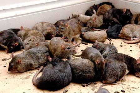 К какому событию может сниться крыса во сне