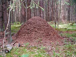 Когда снятся муравьи и их много