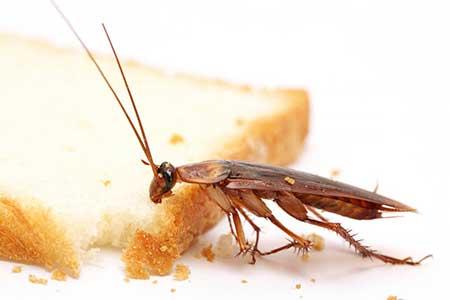 Нашатырный спирт от тараканов - рецепты и отзывы