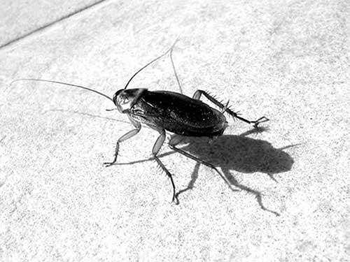 как выглядят тараканы фото