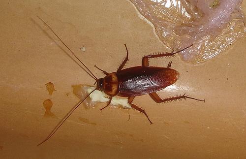 раствор борной кислоты от тараканов