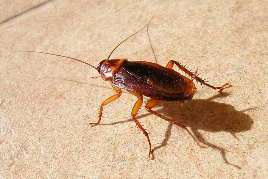 Фотографии тараканов в различном возрасте и состоянии