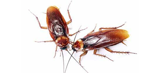На фото изображен американский таракан самка и самец