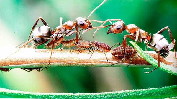 как избавиться от тли и муравьев