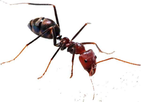 Фараоновый муравей