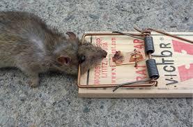Крыса в капкане