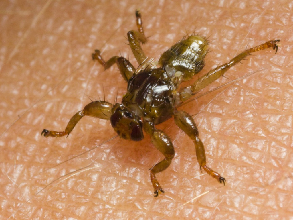 Кровососка оленья, лосиная муха – уязвимые места интересного насекомого