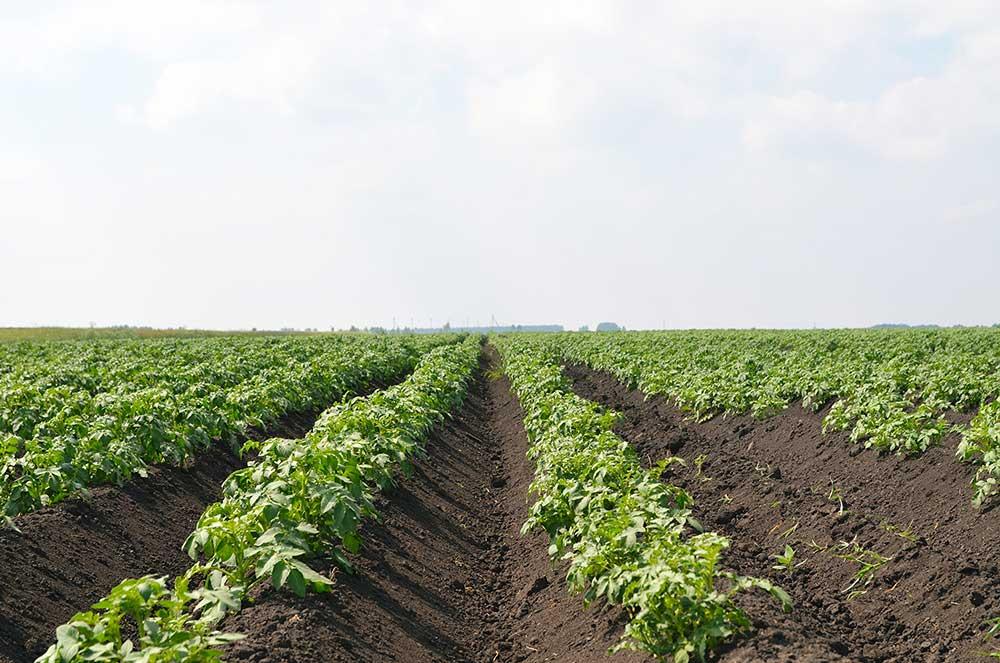 Насколько эффективна обработка картофеля от колорадского жука