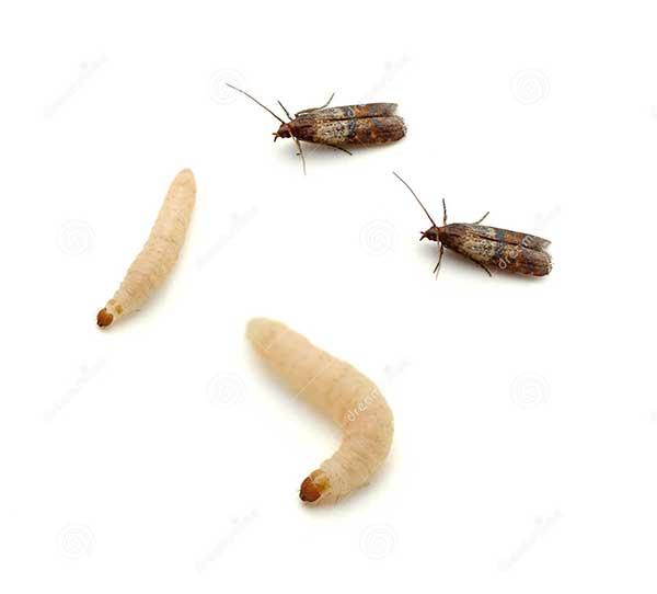 Гусеницы зерновой моли