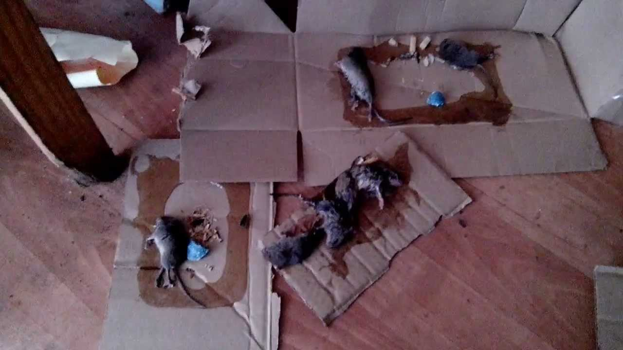 Клей для уничтожения крыс, мышей, как лучшее средство против грызунов