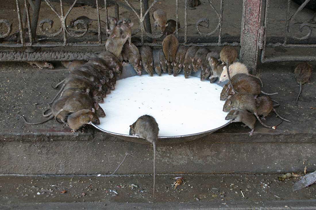 Уничтожение мышей и крыс – самые надежные методы борьбы