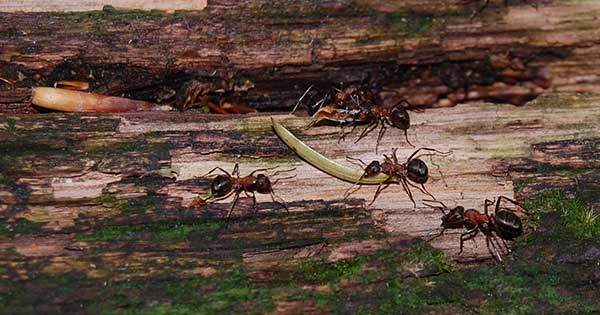 Древесные муравьи