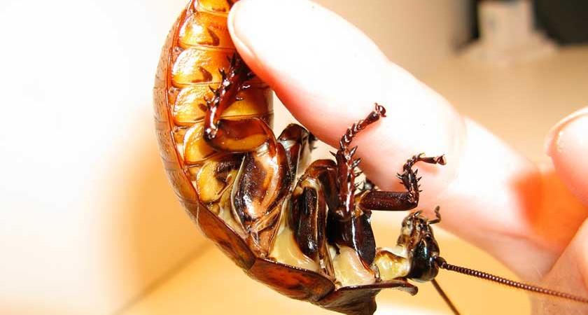 Как уничтожить тараканов в собственной квартире навсегда