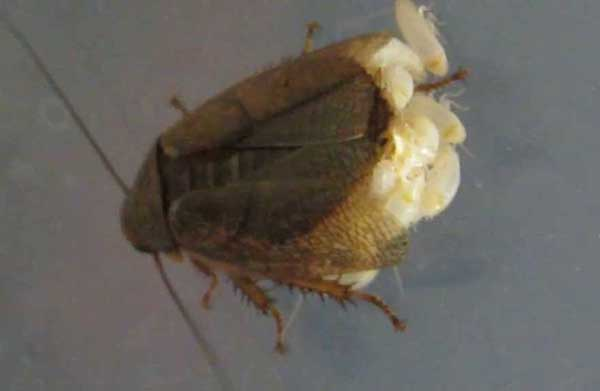 Личинка таракана