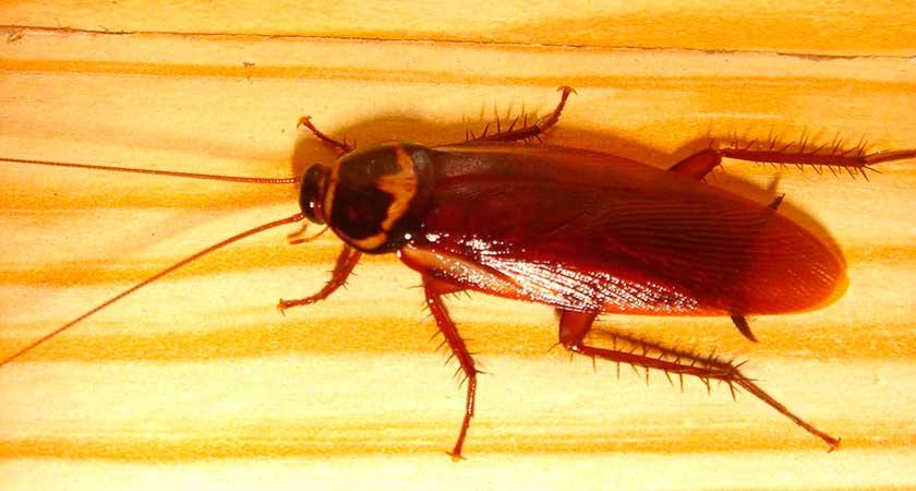 Уникальный домашний вредитель- рыжий таракан