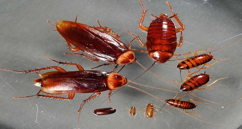 Как размножаются тараканы – особенности, скорость, секреты