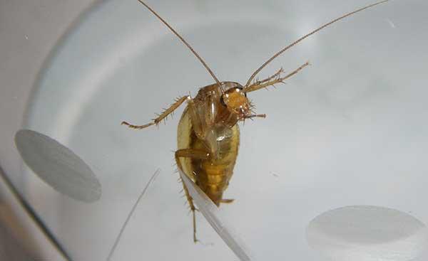 Беспомощный таракан
