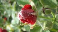 Враг для комнатных растений – паутинный клещ