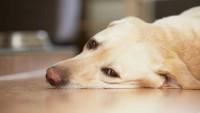 Как узнать что у собаки энцефалит после укуса клеща
