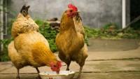 Пероед у домашних кур – откуда берется, как избавиться