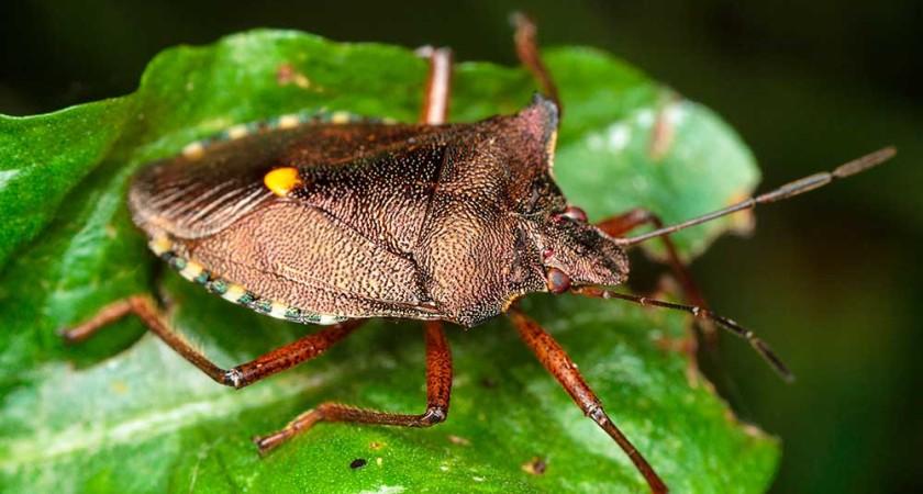 Вредная черепашка – забавное насекомое с вредными повадками