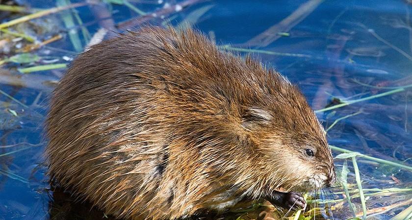 Водяная крыса, как избавиться – от профессиональных до народных методов борьбы