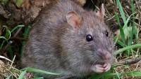 Земляная крыса – какой вред приносит на огородах, как освободить территорию