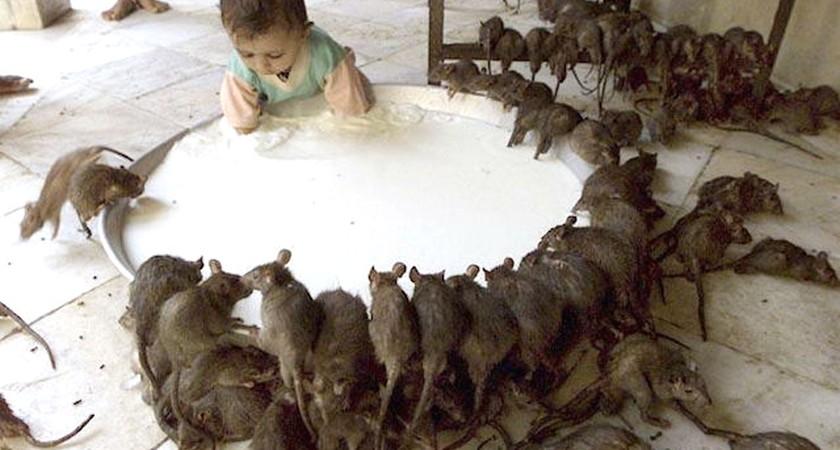 Средство против крыс и мышей – современные новые и старые эффективные