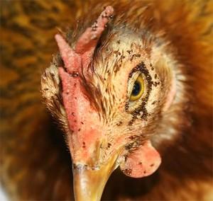 Курица зараженная блохами