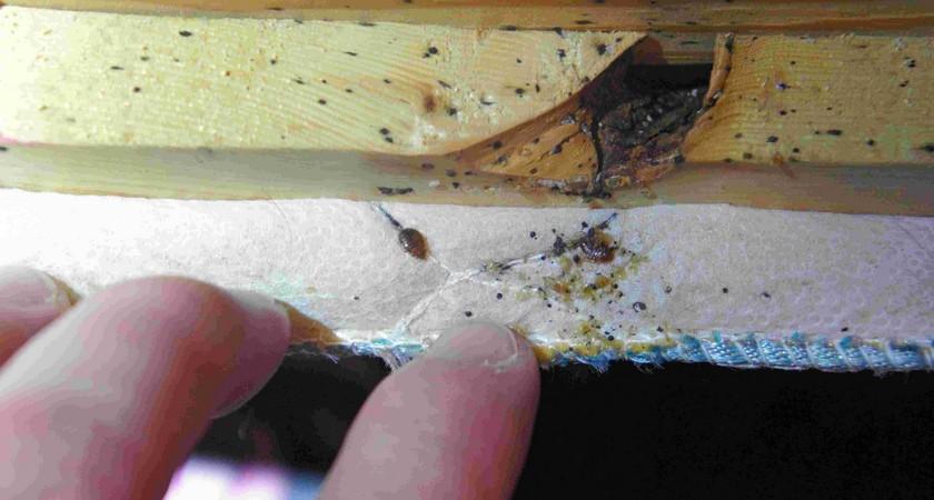 Гнездо клопов – как быстро найти убежище паразитов