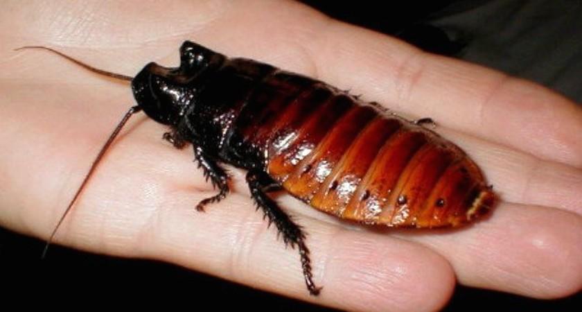 Мадагаскарский таракан – экзотическое домашнее животное