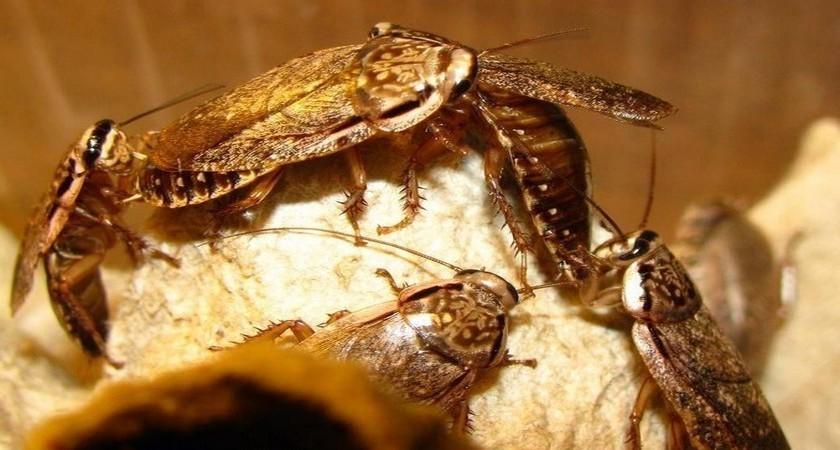 Что привлекает тараканов
