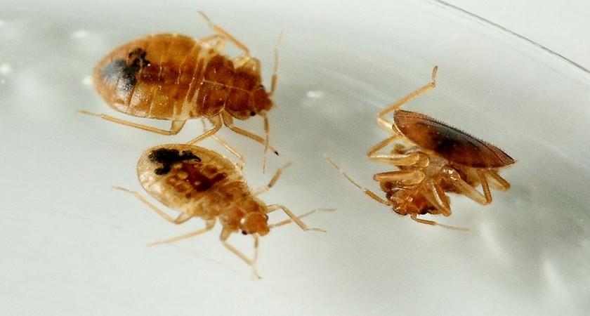 Мебельные клопы – насекомые с завидной устойчивостью к жизни
