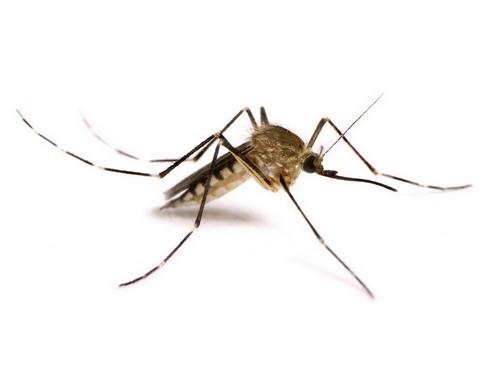Комар без крови