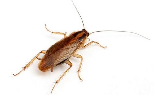 рыжие тараканы