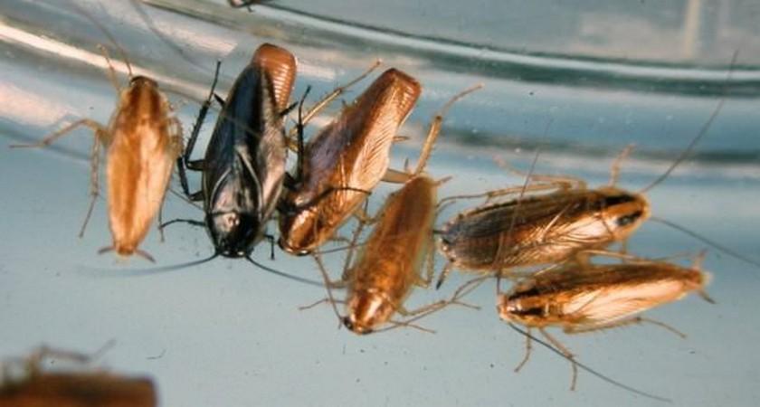 Чем вывести тараканов в домашних условиях быстро 826