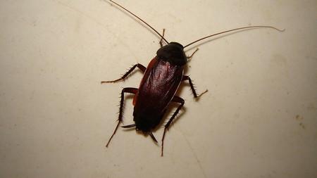 Как выглядят черные тараканы