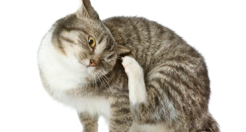 Симптомы блох у кошек — как выглядят, фото и лечение