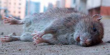 К чему снятся мертвые крысы