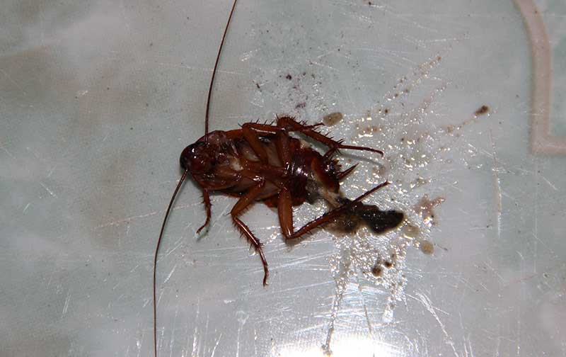 Борная кислота против тараканов в квартире