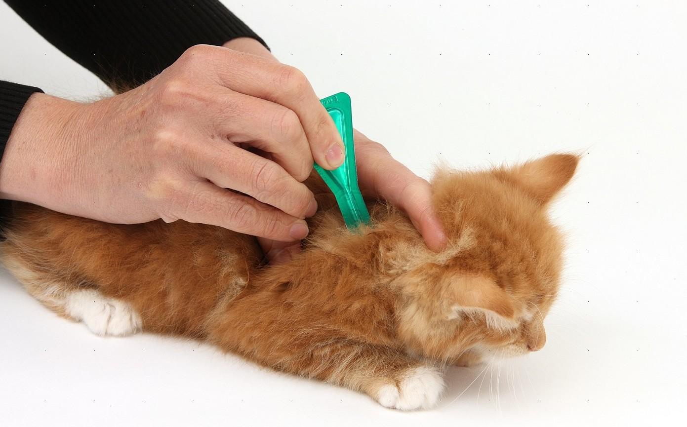 Лечение блох у кошки