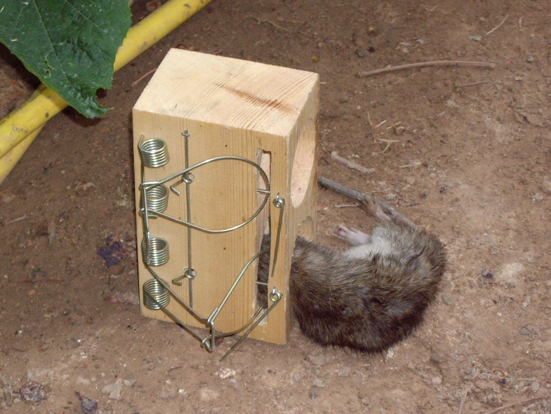 Как сделать капкан для крыс фото 511