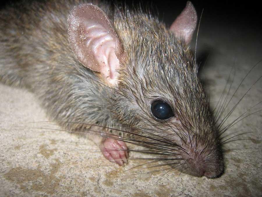 Проверенные способы и советы избавления от крыс