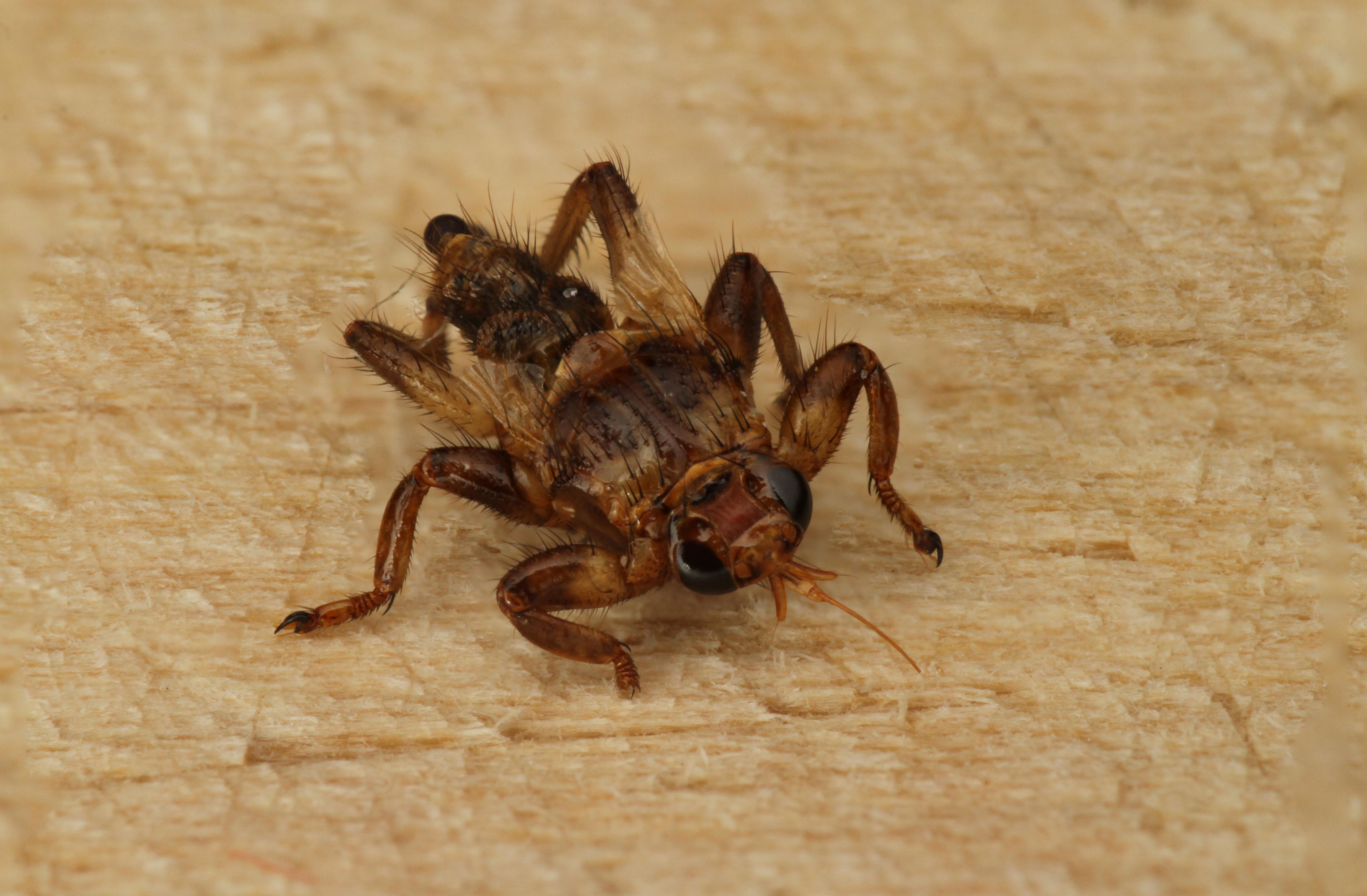 Места обитания лосиной мухи, опасность и вред