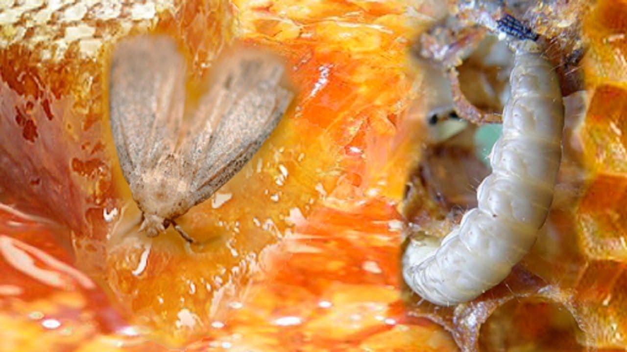 Восковая моль, борьба с ней – самые эффективные методы со слов пчеловодов