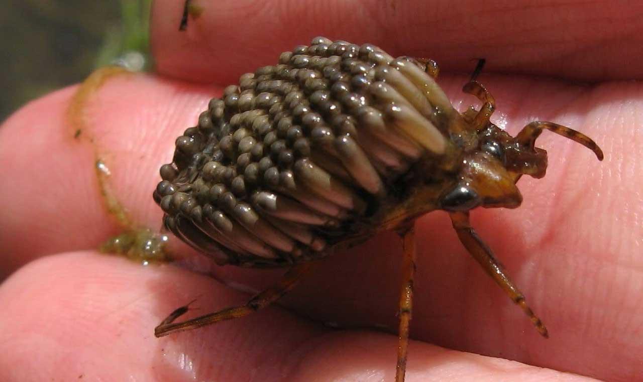 водяной жук фото