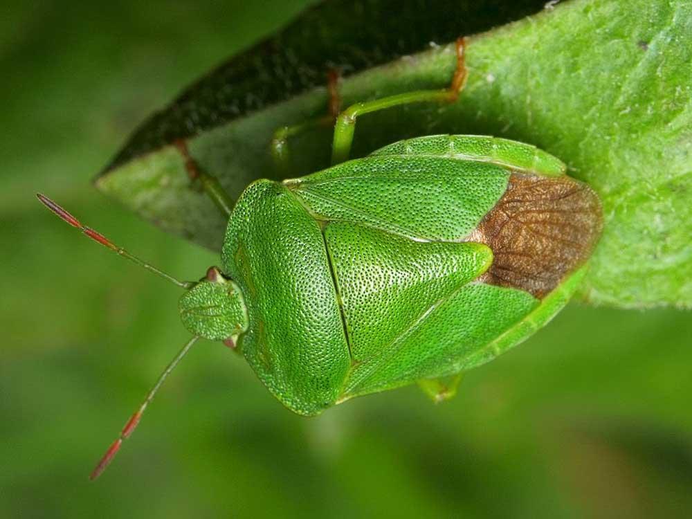 Жук вонючка на листе