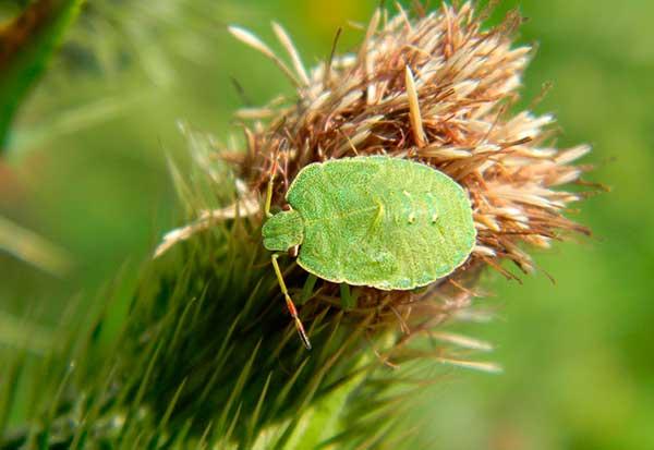 Травяной клоп