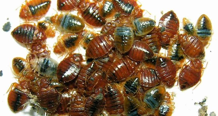 Как размножаются клопы – все нюансы в жизни насекомых